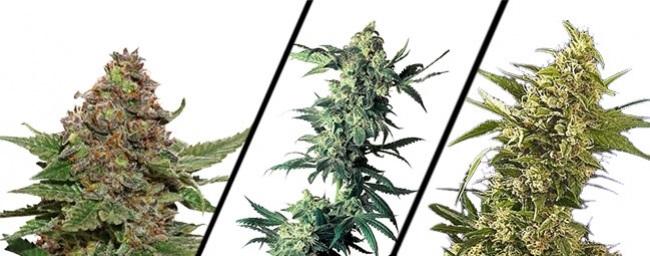 plantas de marihuana categorias