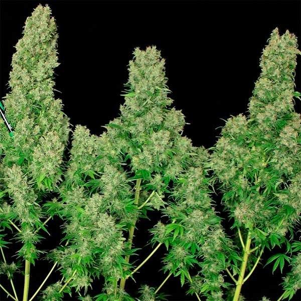 white russian marihuana