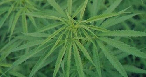 super cogollo marihuana
