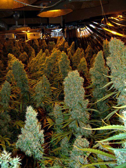 resina cogollo marihuana